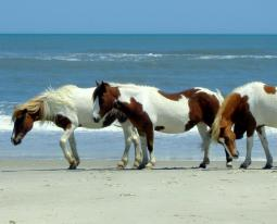Horses_on_the_beach_at_Assateague